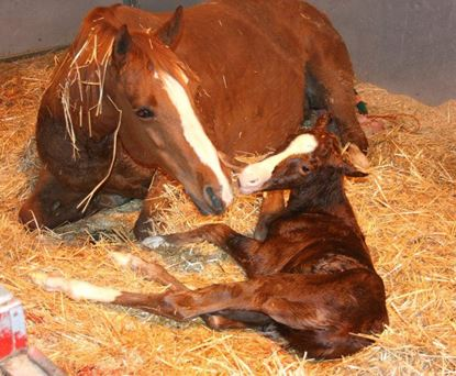 Picture of Foaling And Foal Care  Virtual Course