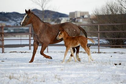 Mare and foal at the Colorado State University Equine Reproduction Laboratory